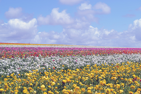 Carlsbad-Flower-Fields-1