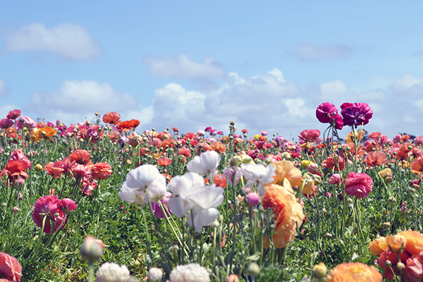 Carlsbad-Flower-Fields-3