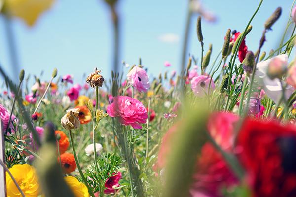 Carlsbad-Flower-Fields-8