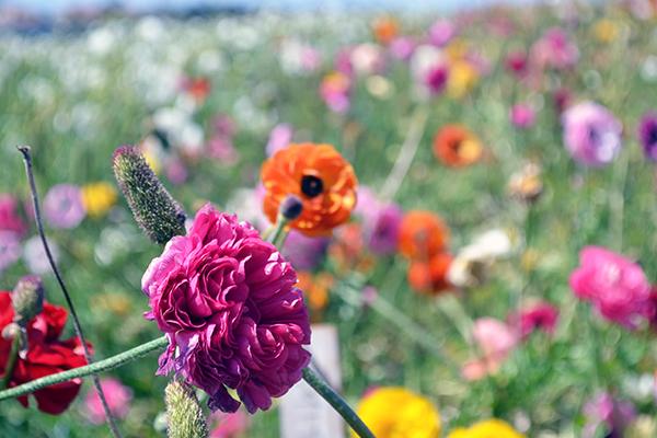 Carlsbad-Flower-Fields-9