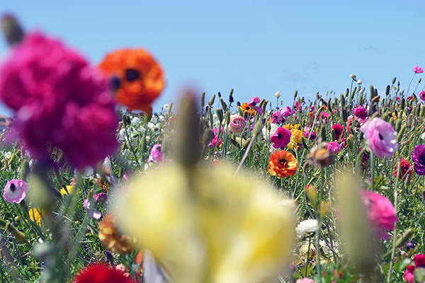 Carlsbad-Flower-Fields-10