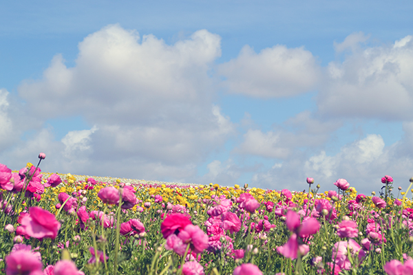 Carlsbad-Flower-Fields-11