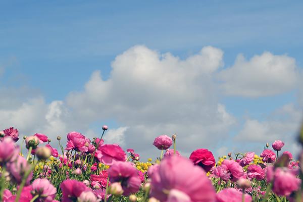 Carlsbad-Flower-Fields-12