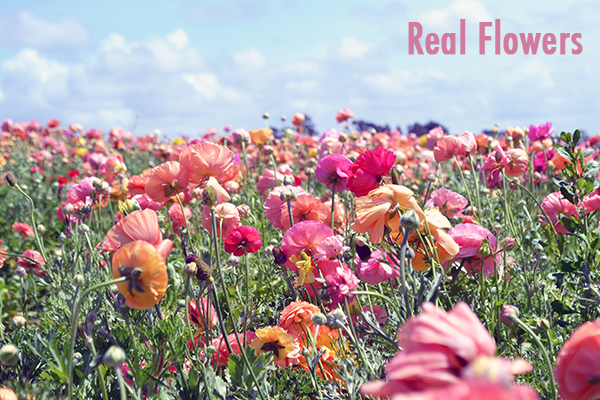 carlsbad-flower-fields-ranunculus